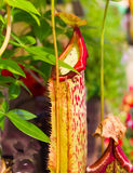 Tropical Pitcher Plant Royalty Free Stock Photos