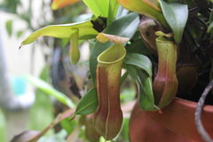 Tropical Pitcher Plant. Small green tropical pitcher plant Royalty Free Stock Photo