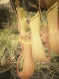 Tropical pitcher plants Stock Images