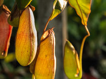 Tropical Pitcher Plants Hanging Royalty Free Stock Images
