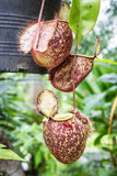 Tropical pitcher plants , monkey cups stock images