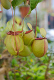 Tropical pitcher plants, monkey cups. In garden Royalty Free Stock Photography