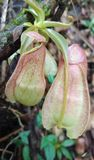 Tropical pitcher plants in sri lanka royalty free stock photography