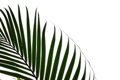 Tropical plam leave on white isolated background for green foliage backdrop stock photos