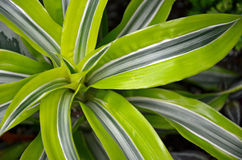 Tropical Plant Royalty Free Stock Image