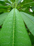 Tropical plant. S after rain, Cuban flora Royalty Free Stock Image