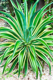 Tropical plant agave Royalty Free Stock Images
