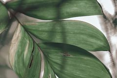 Tropical plant big leaves royalty free stock photo