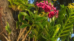 Tropical plant with big pink flowers. Camera moves along tropical plant with big pink flowers stock video