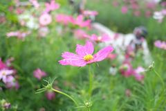 Sweet pink cosmos flower blossom with droplets on corollas with green nature background stock photos