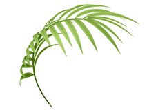 Tropical plant branch Royalty Free Stock Images