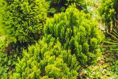 Tropical plant green conifers like spruce or pine in the greenhouse wonderful.  Royalty Free Stock Photo
