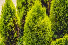 Tropical plant green conifers like spruce or pine in the greenhouse wonderful.  Stock Photo