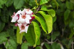 Tropical plant with green leaf closeup photo. Pink and white blossom on tree branch. Romantic flower banner template. Green tropical bush with flowers. Gentle Royalty Free Stock Image