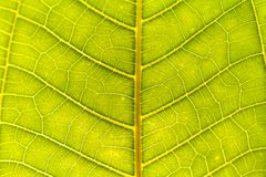 Tropical plant. Green leaves background. Leaf texture Royalty Free Stock Photography