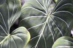 Tropical Plant. Large Tropical Elephants Ear Plant Florida royalty free stock images