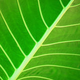Tropical plant leaf Royalty Free Stock Photography