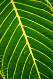 Tropical plant leaf texture (diagonal) Royalty Free Stock Images