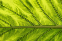 Tropical Plant Leaf Texture Royalty Free Stock Photo