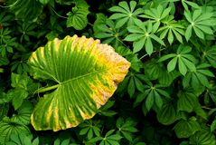 Tropical plant leaves abstract Royalty Free Stock Photos