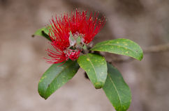 Tropical plant - Metrosideros polymorpha Stock Images