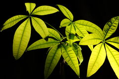 Tropical Plant Royalty Free Stock Photography