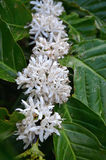 Tropical plant with white flower of coffee - Cuba Royalty Free Stock Photo