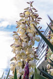 Tropical plant yucca (flowers). Tropical plant yucca in urban parks and gardens Stock Photos