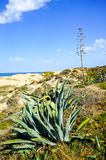 Tropical plants on Alentejo area beach, Portugal Royalty Free Stock Images