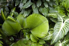 Tropical plants in Botanic Garden Singapore. Plants of big leaves in Botanic Garden Singapore stock photos