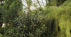 Tropical plants and tree in the botanic garden. Botanic greenhouse. Interior of glasshouse. Tropical background. Tropical plants in the greenhouse stock video