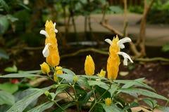 Lollipop flowers. Tropical plants / Lollipop flowers / Pachystachys lutea stock photography