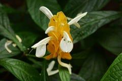 Lollipop flowers. Tropical plants / Lollipop flowers / Pachystachys lutea stock photo