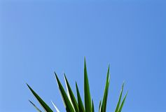 Tropical plants. Tropical plant with spikes in clear blue skies Stock Photo