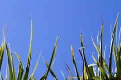 Tropical plants. Tropical plant with spikes in clear blue skies Stock Photos