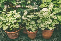 Tropical plants in pots , the subject of floriculture , cultivation. Of flowers stock images