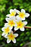 Tropical plumeria Stock Photo