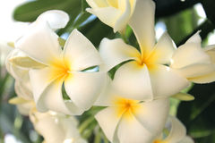 Tropical plumeria flower Royalty Free Stock Images