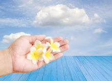 Tropical Plumeria flower in hand holding with sky background Stock Photography