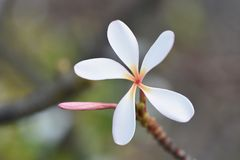 Tropical Plumeria Flower from Hawaii Island 2 stock photography