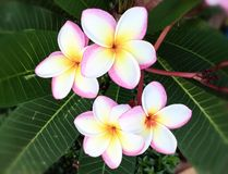 Tropical plumeria flowers Royalty Free Stock Photo
