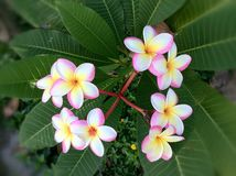 Tropical plumeria flowers Stock Photography