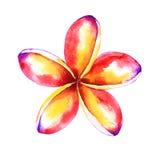 Tropical plumeria illustration Stock Image