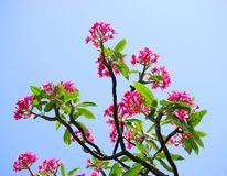 Tropical Plumeria Tree Stock Photos