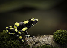 Tropical poison dart frog in Amazon rain forest Colombia. Dendrobates auratus a macro of a poisonous amphibian in the rainforest Stock Images