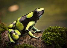 Tropical poison dart frog from the Amazon rain forest in Colombia royalty free stock image
