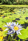 Tropical pond with aquatic flowers Royalty Free Stock Photo