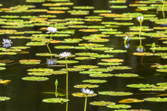 Tropical pond with aquatic flowers Stock Photography
