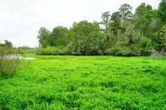 Tropical pond cover by grass Stock Images