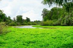 Tropical pond cover by algae Royalty Free Stock Photos